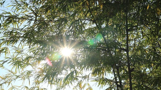 Sunshine Through Bamboo Leaves V