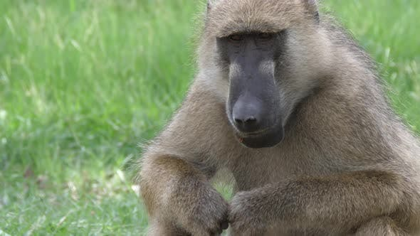 Thumbnail for Close up from a Baboon eating seeds