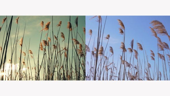 Thumbnail for Swinging Reed Grass in the Wind