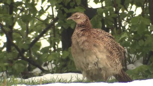 Ring-necked Pheasant Bird Hen Female Preening Clearing Feathers in Spring in Snow Walking Away