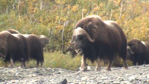 Musk Ox Bull Adult Herd Many Walking Moving in Autumn in Alaska