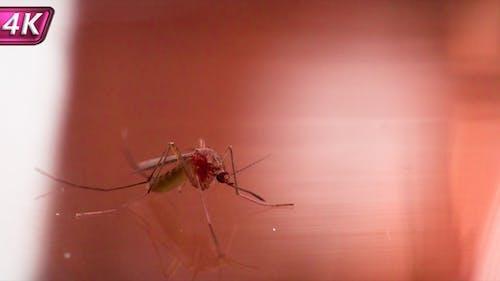Moskito als Peddler der Infektion