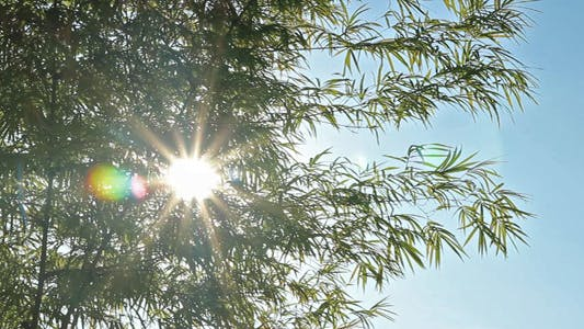 Cover Image for Sunshine Through Bamboo Leaves IV