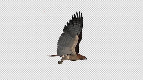 Red Tail Hawk - Flying Loop - Side View