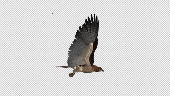 Thumbnail for Red Tail Hawk - Flying Loop - Side View