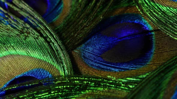 Thumbnail for Feathers of Tropical Peacock Bird. Macro Rotation Close-up View. Beautiful Animals. Color Accuracy