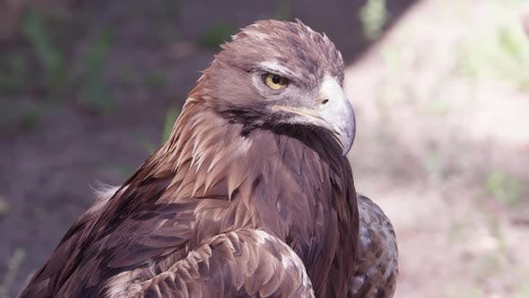 Thumbnail for Close up view of Golden Eagle