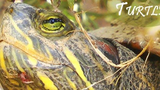 Thumbnail for Turtle 1