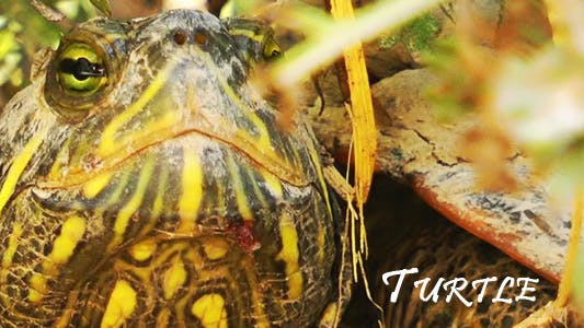 Thumbnail for Turtle 2