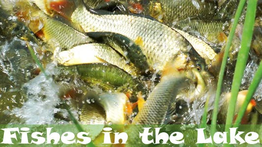 Thumbnail for Fishes In The Lake 4