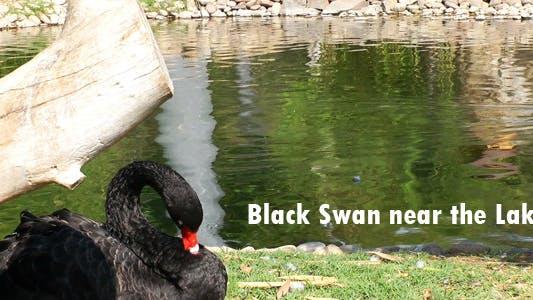 Thumbnail for Black Swan Near The Lake