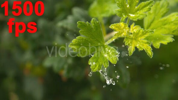 Thumbnail for Water Drop On A Leaf