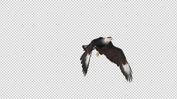 Thumbnail for Caracara Hawk - 4K Flying Transition - 04