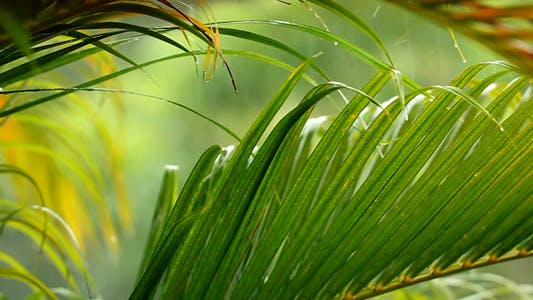 Thumbnail for Background - Palm Leaves In The Rain