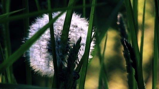 Thumbnail for Dandelion In Grass