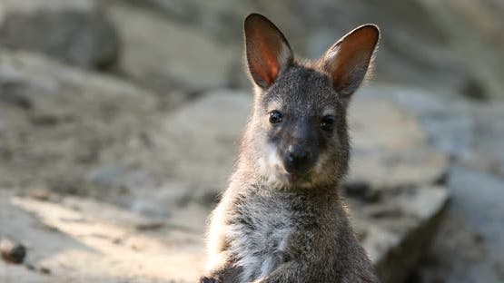 small cute baby of kangaroo feeding