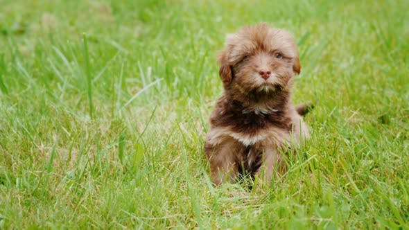 Cover Image for A Small Puppy of Havanese Breed Is Sitting in the Grass, Looking Towards the Camera