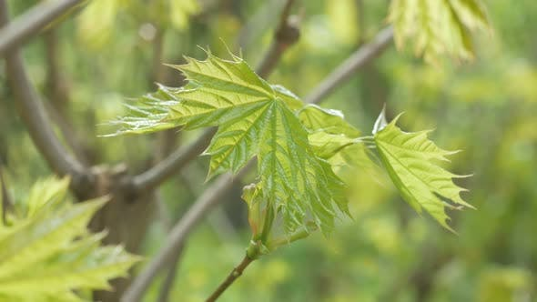 Young Spring Leaves Of A Tree In The Wind
