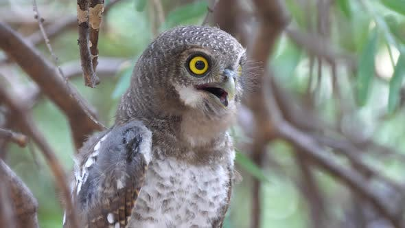 Thumbnail for Pearl-spotted owlet hooting in a tree