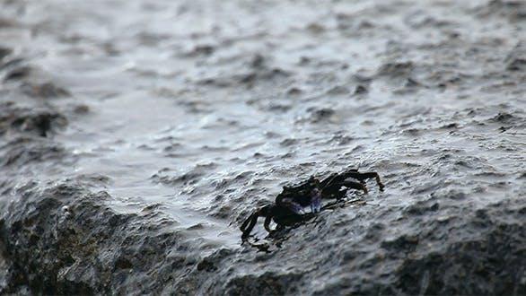 Thumbnail for Crab