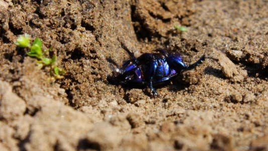 Thumbnail for Geotrupidae Beetle