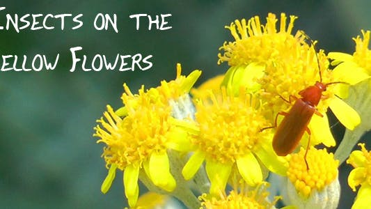 Thumbnail for Insect on the Yellow Flowers