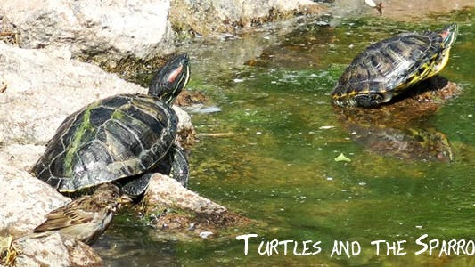 Thumbnail for Turtles and the Sparrow