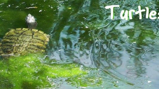 Thumbnail for Turtles