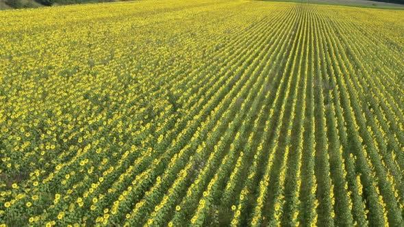 High above sunflower Helianthus annuus field before harvest 4K aerial footage