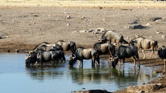 Blue Wildebeest Gnu, Namibia Africa wildlife safari
