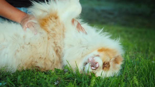 Dog Owner Plays with the Australian Shepherd on a Green Lawn