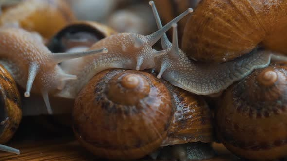 Thumbnail for Lot of Snails Close Up