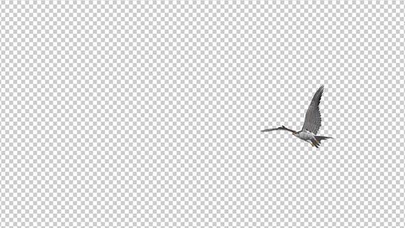 Prairie Falcon -  4K Flying Transition - II
