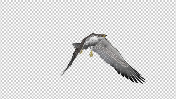 Prairie Falcon -  4K Flying Transition - IV
