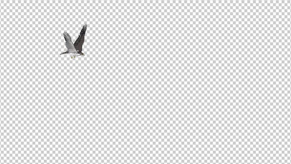 Prairie Falcon -  4K Flying Transition - III