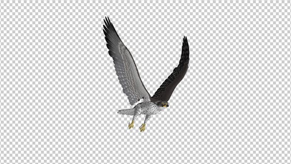 Prairie Falcon -  4K Flying Loop - Front Side Angle