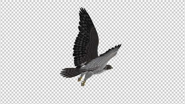 Prairie Falcon -  4K Flying Loop - Back Angle View