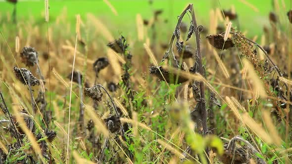 Thumbnail for Dried Grass and Sunflowers