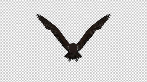 Western Osprey - 4K Flying Loop - Back View