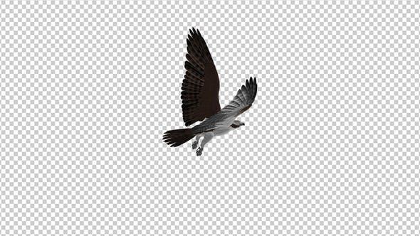 Western Osprey - 4K Flying Loop - Back Angle