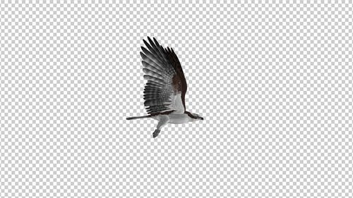 Western Osprey - 4K Flying Loop - Side View