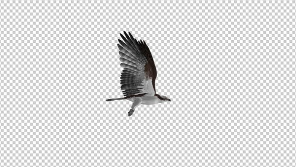 Thumbnail for Western Osprey - 4K Flying Loop - Side View
