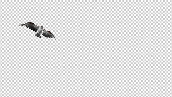Western Osprey - 4K Flying Transition - I