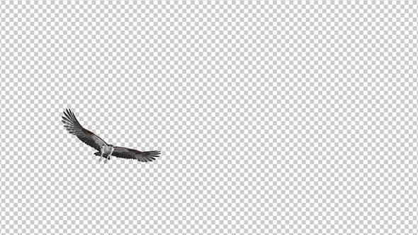 Western Osprey - 4K Flying Transition - II