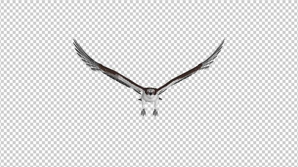 Thumbnail for Western Osprey - 4K Flying Loop - Front View