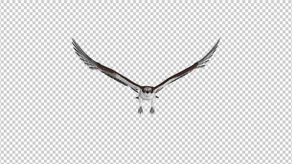 Western Osprey - 4K Flying Loop - Front View