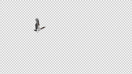 Western Osprey - 4K Flying Round Loop