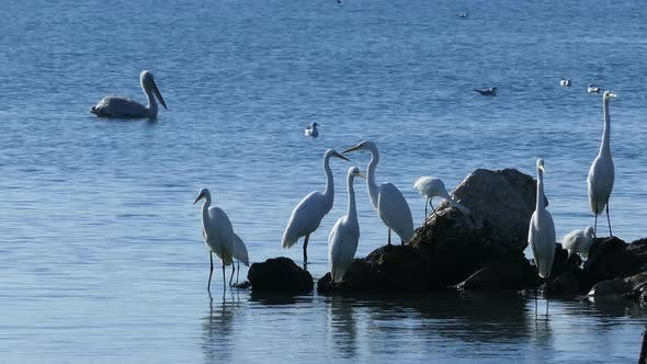Thumbnail for Great egrets at the waterfront