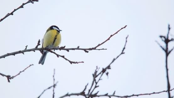 beau petit oiseau grand mésange en hiver