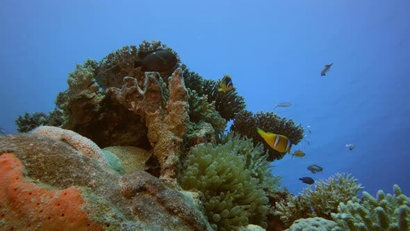 Cover Image for Tropical Coral Reef Clown-Fish